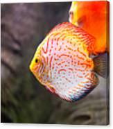 Aquarium Orange Spotted Fish Canvas Print