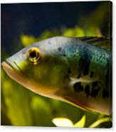 Aquarium Striped Fish Portrait Canvas Print