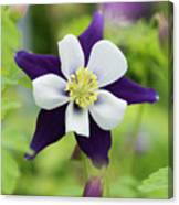 Aquilegia Swan Violet And White Canvas Print