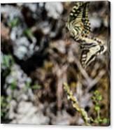 Aquino's Butterflies Canvas Print