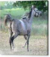 Arab Horse Canvas Print