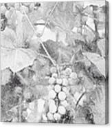 Arbor Grapes Sketch Canvas Print