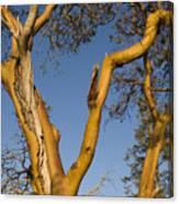 Arbutus Tree At Roesland Canvas Print