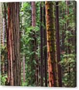 Arcata Forest Canvas Print