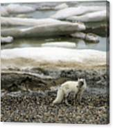 Arctic Fox By Frozen Ocean Canvas Print