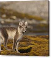 Arctic Fox In Tundra Canvas Print