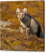 Arctic Fox Striding Out Canvas Print