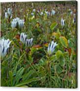 Arctic Gentian Blooming In The Alpine Canvas Print