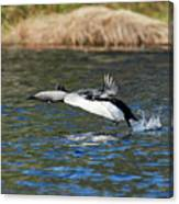 Arctic Loon Take Off Canvas Print