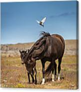 Arctic Tern Attacking Mare Canvas Print