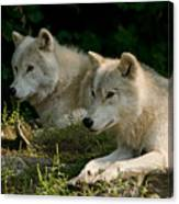 Arctic Wolf Pictures 1268 Canvas Print