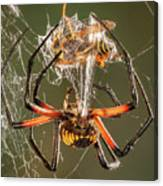 Argiope Spider Wrapping A Hornet Canvas Print