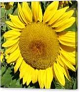 Arikara Sunflower Canvas Print
