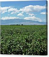 Arizona Cotton Field Canvas Print