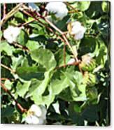 Arizona Cotton Canvas Print