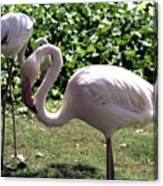 Arizona Flamingos Canvas Print