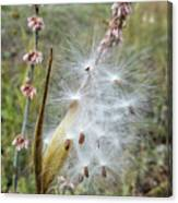 Arizona Milkweed Canvas Print