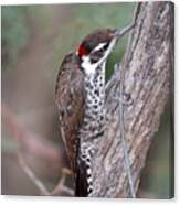 Arizona Woodpecker Canvas Print