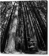 Armstrong National Park Redwoods Filtered Sun Black And White Canvas Print