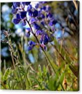 Arroyo Lupine Four Canvas Print