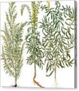 Artemisiae & Reseda Canvas Print