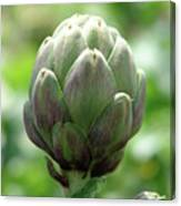 Artichoke In Spain Canvas Print