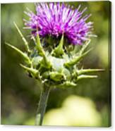 Artichoke Thistle 3 Canvas Print
