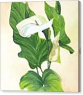 Arums Canvas Print