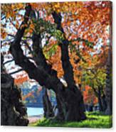 Asian Cherry Trees Of Fall Canvas Print