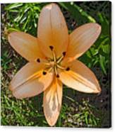 Asiatic Lily With Poster Edges Canvas Print