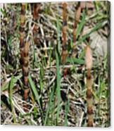 Asparagus In The Wild Canvas Print