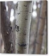 Aspen Bark Detail Canvas Print