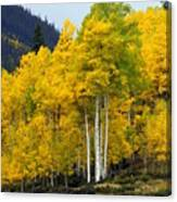 Aspen Fall 3 Canvas Print