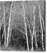 Aspen Forest Black And White Print Canvas Print