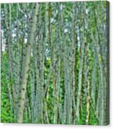 Aspen Forest Canvas Print