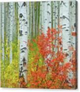 Aspen Glow Canvas Print