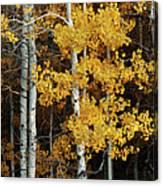 Aspen Gold Canvas Print