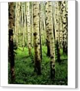 Aspen Grove Flagstaff Arizona Canvas Print