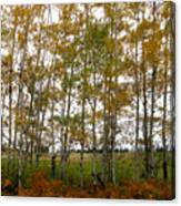 Aspen In Fall Canvas Print