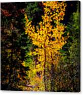 Aspen In Hope Valley Canvas Print