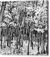 Aspen In Snow Black And White Canvas Print