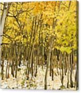Aspen In Snow Canvas Print
