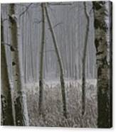Aspen Stand In A Snowstorm Canvas Print