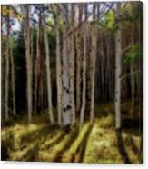 Aspen Sunbeams Canvas Print