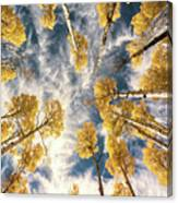 Aspen Tops Towards The Sky Vintage  Canvas Print