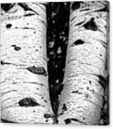 Aspen Tree Art Canvas Print