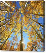 Aspen Tree Canopy 2 Canvas Print