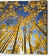 Aspen Tree Canopy 3 Canvas Print