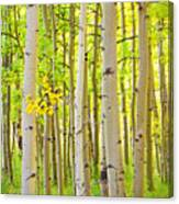 Aspen Tree Forest Autumn Time Portrait Canvas Print