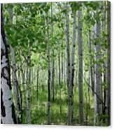 Aspen Trees Colorado Canvas Print